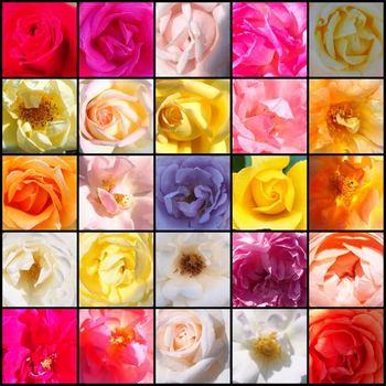 rosyrose1.jpg
