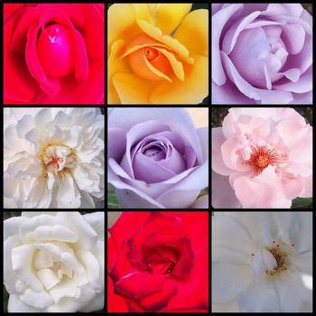 rosyrose2.jpg